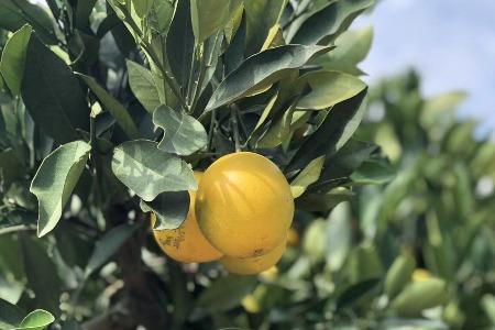 今年橙子這么便宜 為什么褚橙還那么貴?